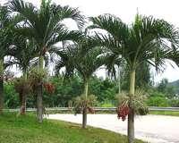 Variedades de palmeiras